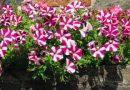 DENSHAW FLOWER SHOW 2018